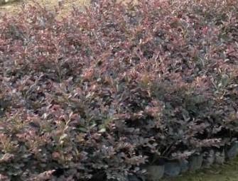 中山志源花木场--红珊瑚