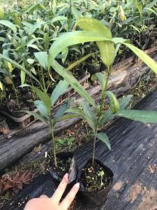 黄金山竹种子