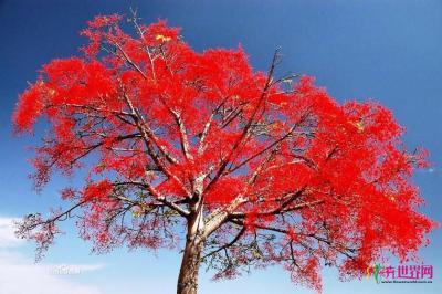 澳洲火焰木
