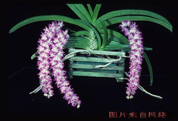 小叶榕 腊肠树