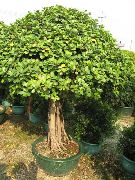 盆景 盆栽 树 植物 榕树 450_600 竖版 竖屏